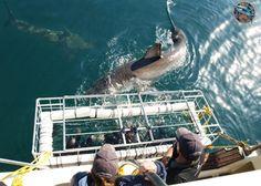 Shark Cage Diving Cape Town | White Shark Diving South Africa | Gansbaai. http://www.sharkcagediving.co.za/