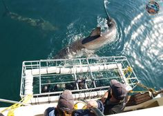 Shark Cage Diving Cape Town | White Shark Diving South Africa | Gansbaai. http://www.sharkcagediving.co.za/