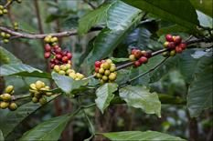 Unusual HousePlants: For all you coffee lovers, c.arabica is the first type of Coffee Plant that was cultivated, and has been grown in Arabia for more than 1000 years. It has shiny dark green crinkled leaves with ruffled edges.