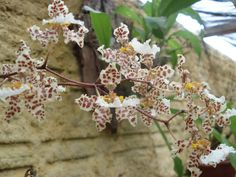 Resultado de imagem para orquidea oncidium jonesianum