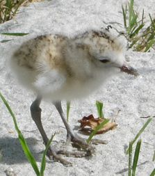 NZ dotterel chick on the Coromandel. Sea Birds, Wild Birds, Rare Birds, Shorebirds, The Beautiful Country, Bird Feathers, Conservation, New Zealand, Wildlife