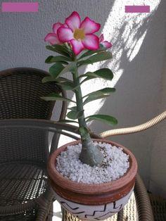 Como fazer estaquia de Rosas do Deserto - Passo 9 Flowers, Succulent Terrarium, Orchids, Garden Plants For Sale, Dwarf Fruit Trees, Propagating Plants, Plants, Adenium, All Plants