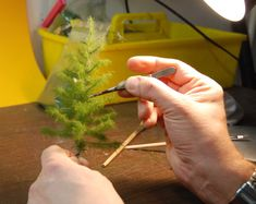 Nadelbäume   Herbs, Vegetables, Trees, Herb, Vegetable Recipes, Veggies, Spice