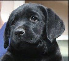 Afbeeldingsresultaten voor Black English Labrador Retriever Puppies