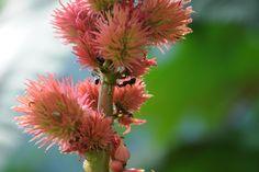 amazing seed-heads on Rictinus