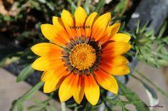 other gazania daisy Daisy, Canvas, A4, Plants, Flowers, Tela, Margarita Flower, Daisies, Canvases