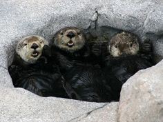 Three sea otters in the spa on exhibit  Special sea otter tour!