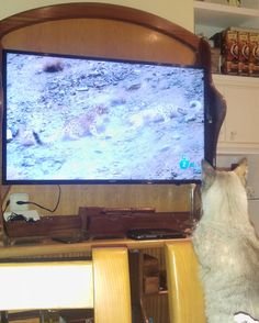 Too focused watching Planet Earth#dogs #kitty #lovecats #kittens #animals #ねこ #animal #kitten #cat #pets #ilovemycat #love #catoftheday #happynewyear #adorable #catlover #pet #meow #猫 #cute #pinterest