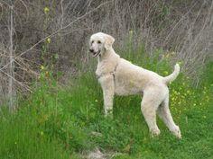 Standard Poodle in a short trim