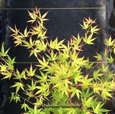 """Acer palmatum """"Ko chidori"""""""