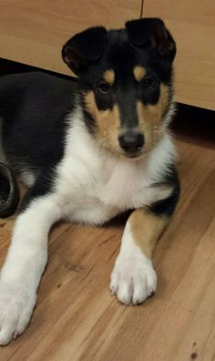 Smooth tri collie puppy - Cheramore Collies of Hood River, Oregon