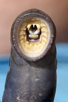 The primitive, eel-like Pacific lamprey has a sucker mouth with which it affixes itself to larger fish as a parasite.