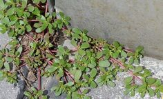 Purslane (Portulaca oleracea) grows commonly as a weed in most gardens. You may also have seen it in your garden. The plant comes from Persia and India and is considered to be weed in many countries and it is discarded along with other weeds and. Portulaca Oleracea, Wild Edibles, Edible Plants, Edible Flowers, Healing Herbs, Wound Healing, Medicinal Plants, Cool Plants, Herbal Medicine