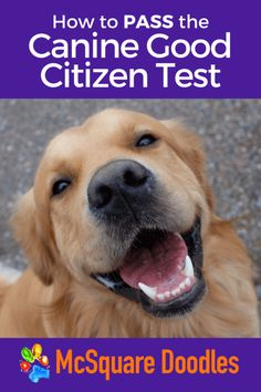 The AKC's Canine Good Citizen Test consists of ten practical tasks to test how well a dog behaves in his community and around other dogs. Learn more about the program and specific, actionable training tips for each of the ten CGC tests. #mcsquaredoodles