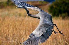 Beautiful Largest Birds in the World, Beautiful Largest Birds, Largest Birds, Big birds, Beautiful birds, strong birds, amazing birds, awesome birds