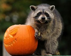 Rocky the Raccoon plays with a carved pumpkin at Bristol Zoo. Picture date: Thursday October 25, 2012.