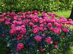 Tulip Gardens at keukenhof - Picture of Keukenhof Gardens, Lisse ...