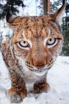 Not a cat - a lynx ahead By Stefan Betz on 500px