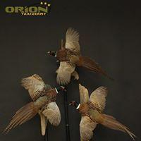 Pheasant Taxidermy Pheasant, Taxidermy, Owl, Birds, Animals, Animales, Animaux, Common Pheasant, Owls