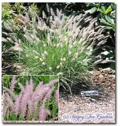 Oriental Fountain Grass  A very popular ornamental grass that loves lots of sun and well-drained soil. This grass is very attractive in bloom when, in mid summer the compact plant produces many fuzzy pink bottlebrush like flowers. The flowers age to a pale almond color by early fall.