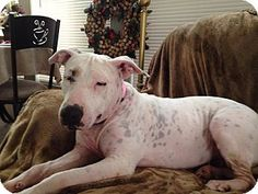 Gilbert, AZ - Shar Pei/Bull Terrier Mix. Meet Blanca, a dog for adoption. http://www.adoptapet.com/pet/16818745-gilbert-arizona-shar-pei-mix