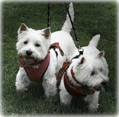I would love a basket full of Westies-- but I can't make my Harley jealous.