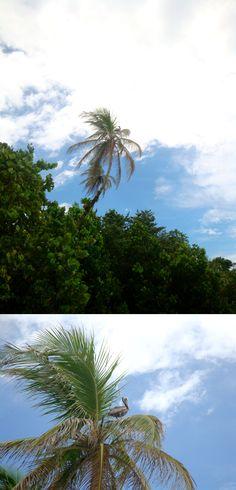 Pelican on coconut tree. Costa Rica.