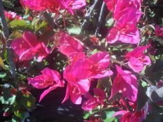 Bougainvillea 'Brilliance' - Bougainvillea