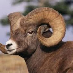 Learn about Rocky Mountain wildlife with in depth info on several animals that make this highlands region such a wildlife viewing hot spot. Spirals In Nature, Big Horn Sheep, Sheep And Lamb, Wild Creatures, Animal 2, Animal Coloring Pages, Wild Dogs, Manx, Rocky Mountains