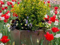 Garden container filled with Euonymus fortunei 'Emerald 'n' Gold', Heuchera 'Black Beauty', purple violas, and Red-veined dock (Rumex sanguineus)
