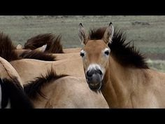 Pure Nature Specials - Wild Horses Return to China