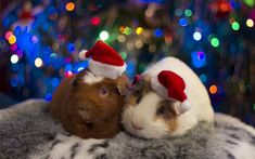Download wallpapers guinea pigs, Christmas, New Year, funny animals, cute animals, pets, evening
