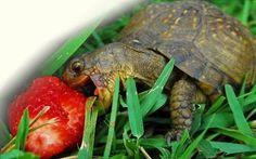 Resultado de imagem para box turtles
