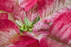 Poinsettia by Jacky Parker on 500px