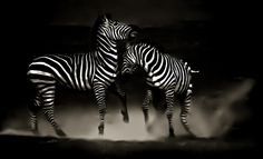 zebra dance by Wallaert-Simon Hélène-Remy on 500px