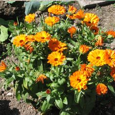 Calendula - Calendula officinalis | annual | 1'-2' H x 1'-1.5' W | available in orange, bright and soft yellow, and cream blooms | sun | moderate water