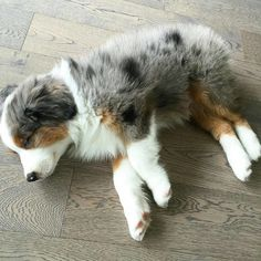 And you never know when they'll surprise you. 17 Reasons Australian Shepherds Are The Worst Possible Breed Of Dog You Could Adopt Super Cute Puppies, Cute Baby Dogs, Cute Dogs And Puppies, Cute Baby Animals, Big Dogs, Doggies, Mini Aussie Puppy, Aussie Puppies, Corgi Puppies