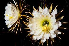 Kakteen mit Musik Die Kakteen-Gattung Selenicereus, auch unter dem deutschen Namen 'Königin der Nacht' bekannt, hat ganz besonders große und prächtige Blüten, mit einem Durchmesser bis über 30 cm. Kombiniert habe ich diese wundervollen Kakteen mit drei Variationen des altflämischen Volksliedes 'T'Andernaken al op den Rhyn'. Im 15. Jahrhundert war das eine sehr bekannte Melodie.
