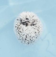 Hedgehog part 1