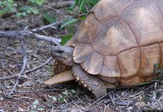 Scientific Name: Astrochelus yniphora   Common Name: Ploughshare Tortoise / Angonoka   Category: Tortoise   Population: 440-770   Threats To Survival: Illegal collection for international pet trade