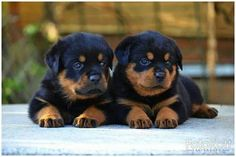 Find Out More On The Loyal Rottweiler Dog Exercise Needs Australian Shepherd Husky, Australian Shepherds, German Shepherds, Rottweiler Love, Rottweiler Puppies, Cute Puppies, Cute Dogs, Baby Animals, Cute Animals
