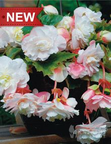 """Angelique Begonia;   Bloom Time: Summer to Frost  Light Requirements: Partial Sun to Full Shade  Height: 6-10""""  Bulb Size: 5/6 cm  Deer Resistant: Yes  Perennializing: Yes  Grow In Containers: Yes  Indoor Forcing: Yes  Cutflower: Yes  Hardiness Zone: 8 - 10  Suitable Zone: 4 - 10  Planting Time: Spring  Planting Depths: 1-2""""  Planting Spacing: 6-9"""""""