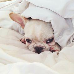 """I Hate Mondays!"", Sleepy French Bulldog"