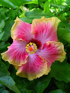 Hibiscus, 'Krista My Darling'     This is for my friend Krista Schneider, because this flower was named after her