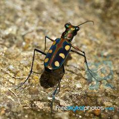 Salt Creek Tiger Beetle (Cicindela nevadica lincolniana) - endangered - found in Nebraska