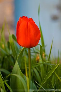 Tulip (tulipa): Declaration of love.