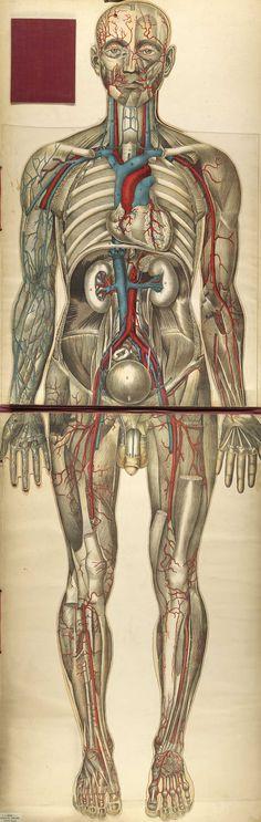 Circulatory system, from Julien Bouglé's Le corps humain et grandeur naturelle, NLM Call no. WE B758c 1899.