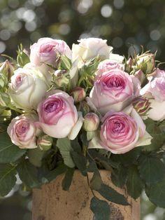 Reflections   Garden Roses