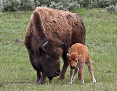 North-and-South-American Bison