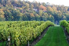 The Cave Spring Vineyard is located high up on a terrace of the Niagara Escarpment overlooking Lake Ontario, known as the Beamsville Bench.